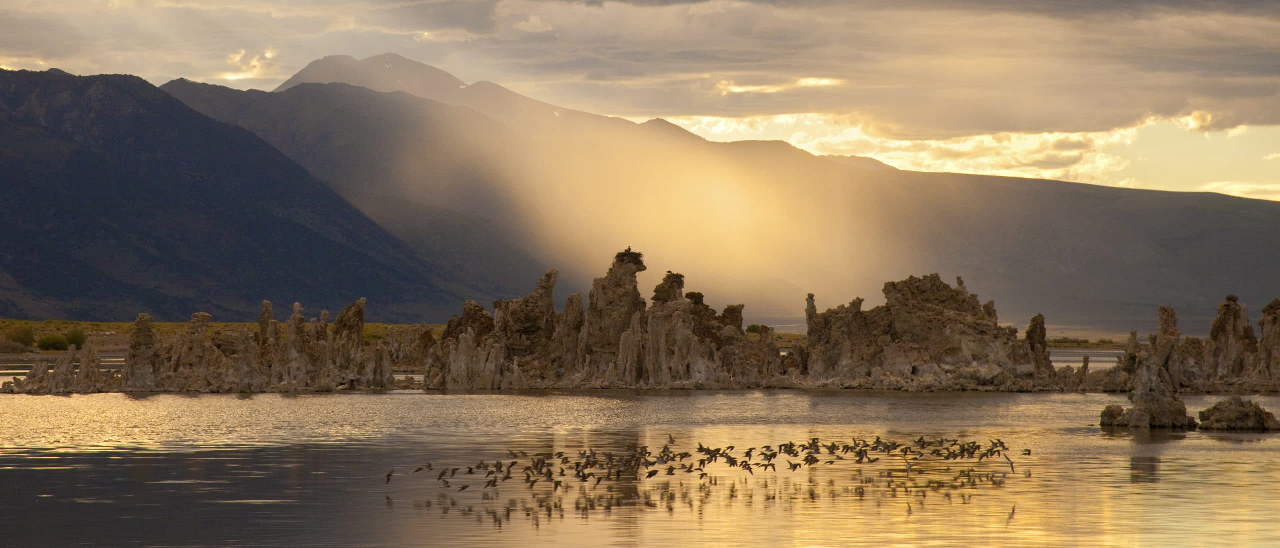 Dramatic sunset scene at Mono Lake with a flock of 100 or so shorebirds skimming above the lake surfact, tufa towers emerging from the water and standing above, with a golden beam of light between the tufa towers and the tall mountain peaks in the distance, with everything drenched in warm golden hues.
