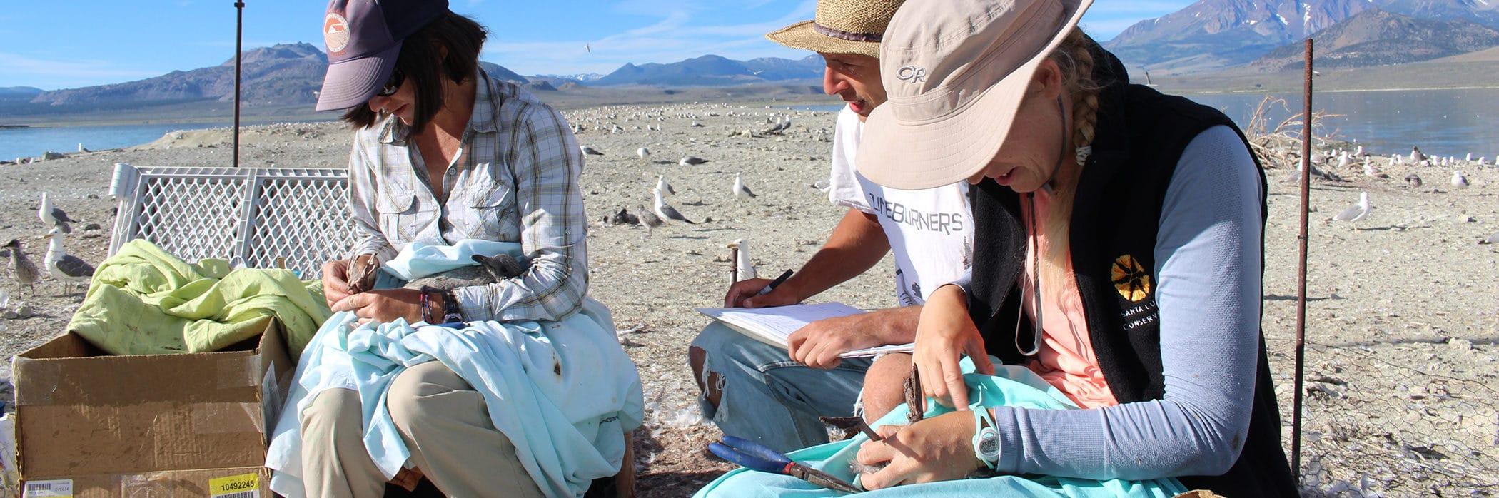 Three bird researchers banding California Gull chicks on an island in Mono Lake.