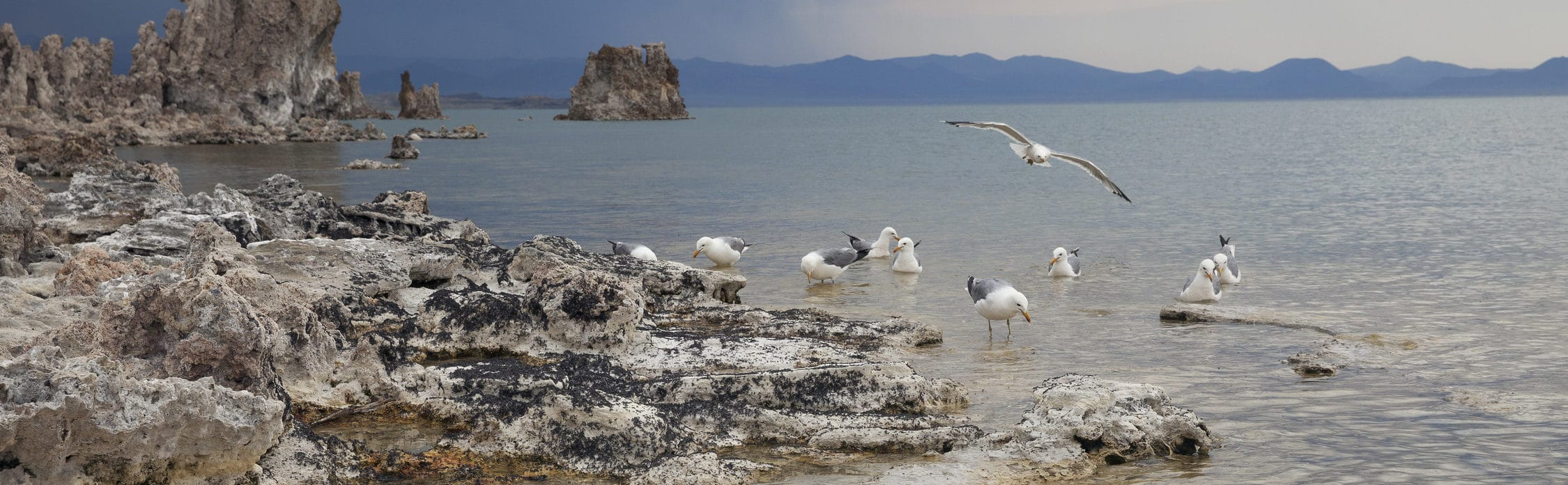 California Gulls walking, floating, and flying along the rocky, alkali fly-covered shore of Mono Lake as a storm comes in.